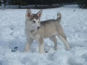 Charming Alaskan Malamute Puppies Available At Low Cost