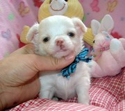 Precious chihuahua puppy available
