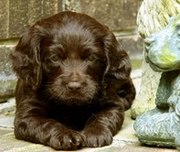 cute and adorable home raised Boykin Spaniel