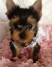 Tiny Tea-Cup Yorkie Puppies