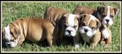 AKC Reg English Bulldog Puppies For Adoption...