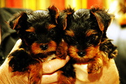 excellent teacup yorkie puppies for free adoption