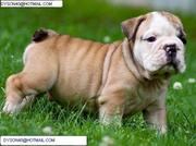 $90 Akc Reg English Bulldog Puppies For Adoption