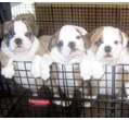 Outstanding Quality English bulldog Puppies ready to go